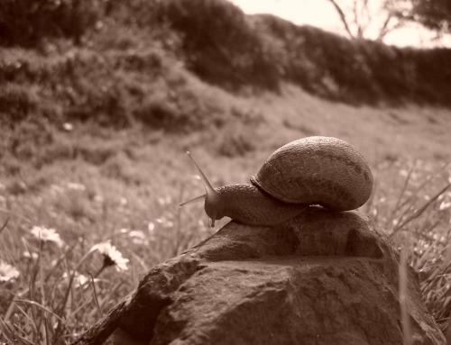 Les escargots du Trégor à Hengoat
